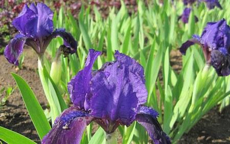 AllgäuStauden Zwerg-Bart-Iris Iris barbata-nana 'Little Shadow'