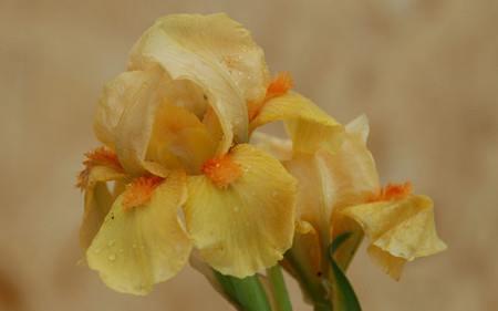 AllgäuStauden Zwerg-Bart-Iris Iris barbata-nana 'Orange Tiger'