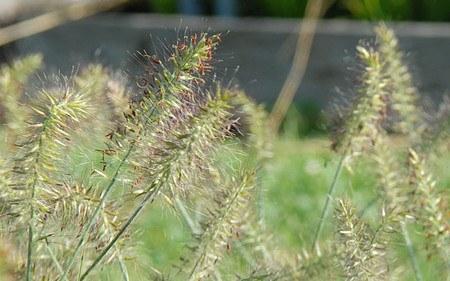 AllgäuStauden Zwerg-Lampenputzergras Pennisetum alopecuroides 'Little Bunny'