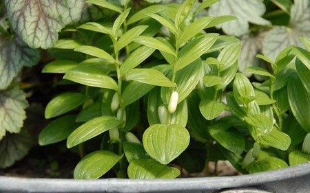 AllgäuStauden Zwerg-Salomonssiegel Polygonatum humile