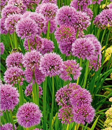 "Allium ""Senescens"",3 Stück"