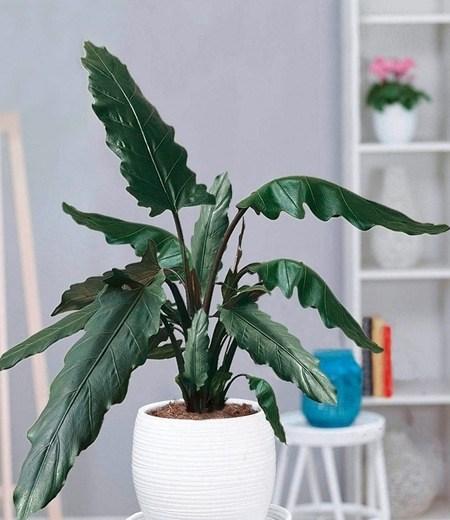 Alocasia Lauterbachiana,1 Pflanze