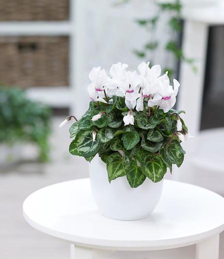 """Alpenveilchen """"Weiß"""",1 Pflanze"""