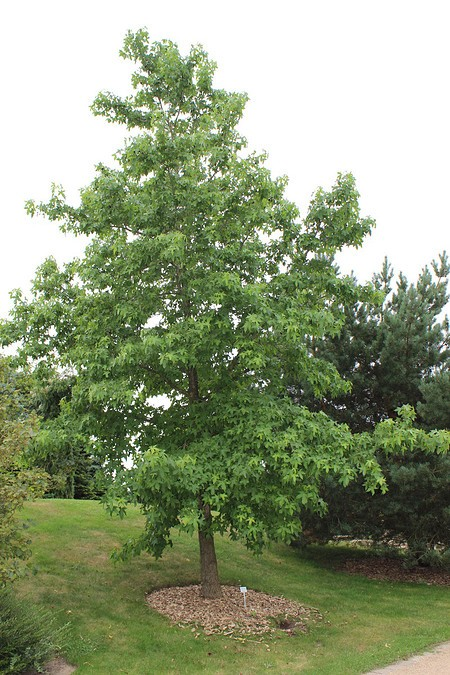 Amberbaum, Seesternbaum