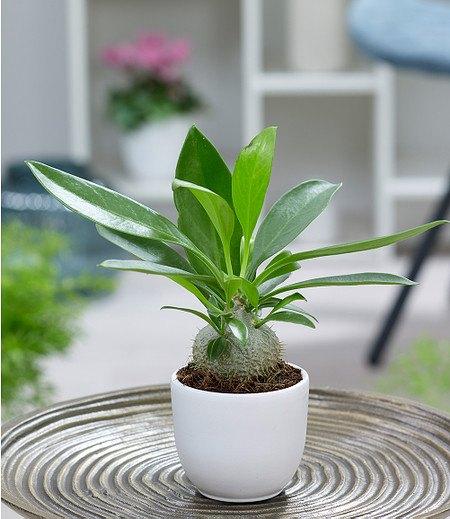 "Ameisenpflanze ""MyrmecodiaAdventure"",1 Pflanze"