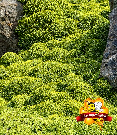 "Andenpolster ""Azorella"",2 Pflanzen"