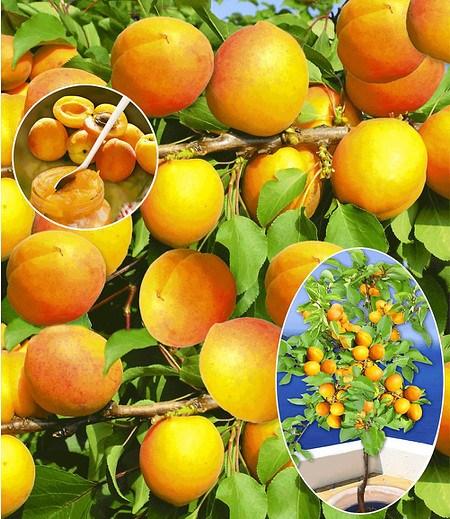 """Aprikose """"Compacta Super Compact®"""",1 Pflanze"""
