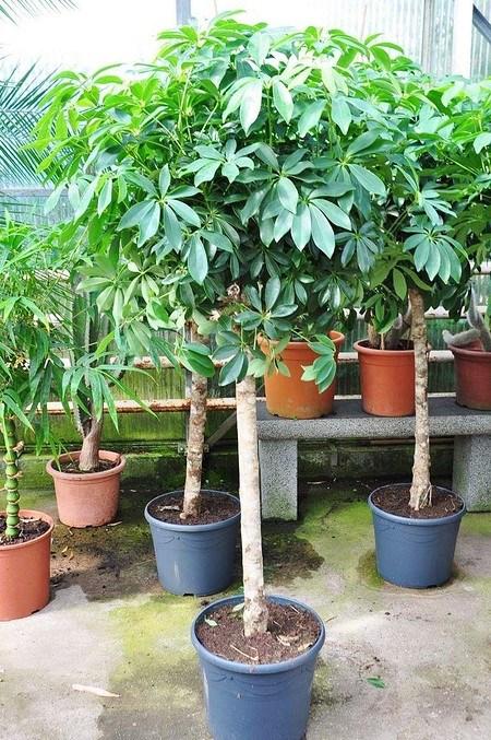 Aralie (Strahlenaralie) - Schefflera arboricola