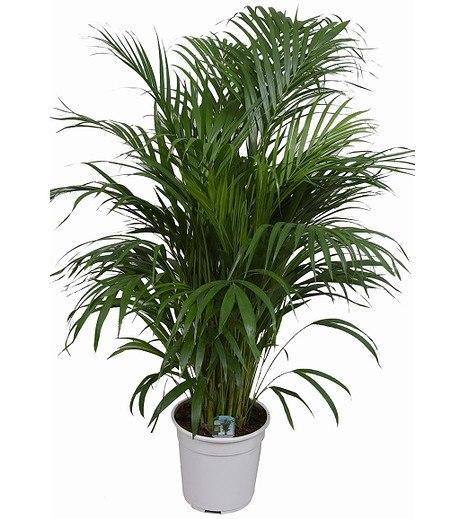 Areca Palme ca 100 cm hoch,1 Pflanze