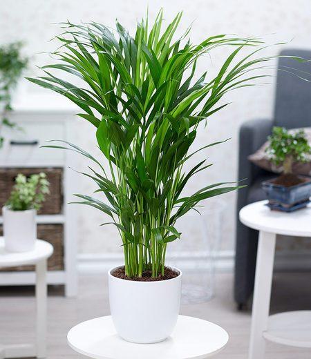 Areca Palme im 17 cm Topf,1 Pflanze