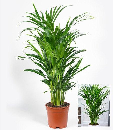 areca palme im 17 cm topf 1 pflanze g nstig online kaufen mein sch ner garten shop. Black Bedroom Furniture Sets. Home Design Ideas