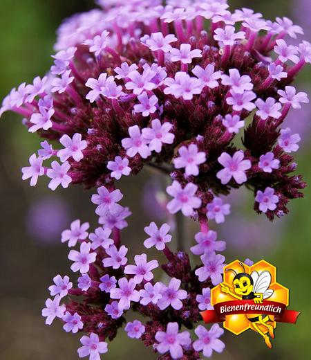 Argentinisches Eisenkraut,3 Pflanzen