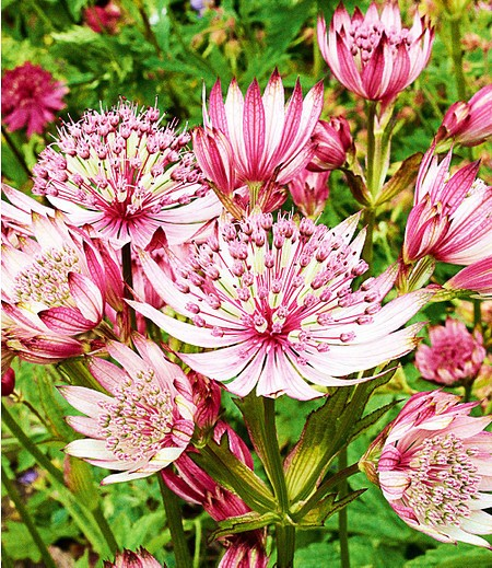 "Astrantia ""Sparkling Stars Pink"",1 Knolle"