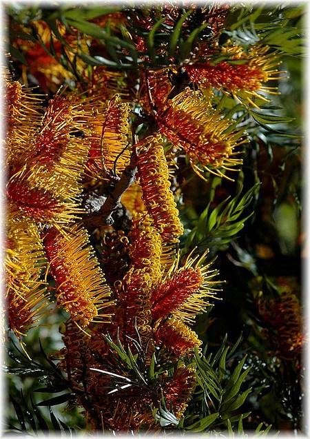 Australische Silbereiche Grevillea robusta