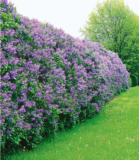 Baldur-Garten Flieder-Hecke,1 Pflanze