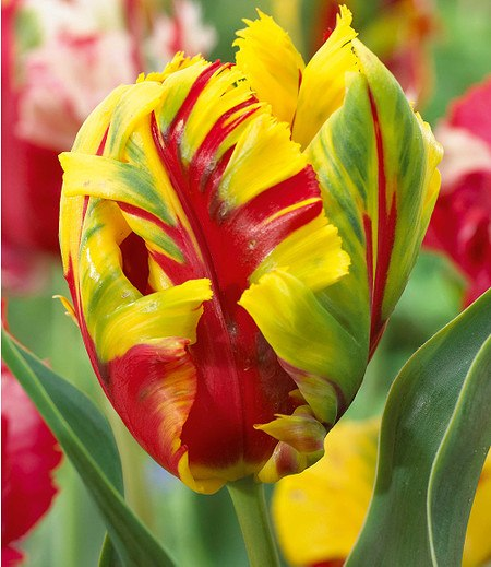 """Baldur-Garten Papageien-Tulpe """"Texas Flame"""",10 Zwiebeln"""