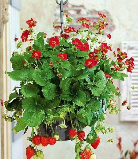 balkon erdbeere ruby ann f1 3 pflanzen g nstig online kaufen mein sch ner garten shop. Black Bedroom Furniture Sets. Home Design Ideas