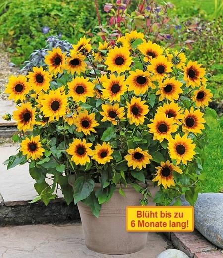 Balkon-Sonnenblume SunBelievable®,1 Pflanze
