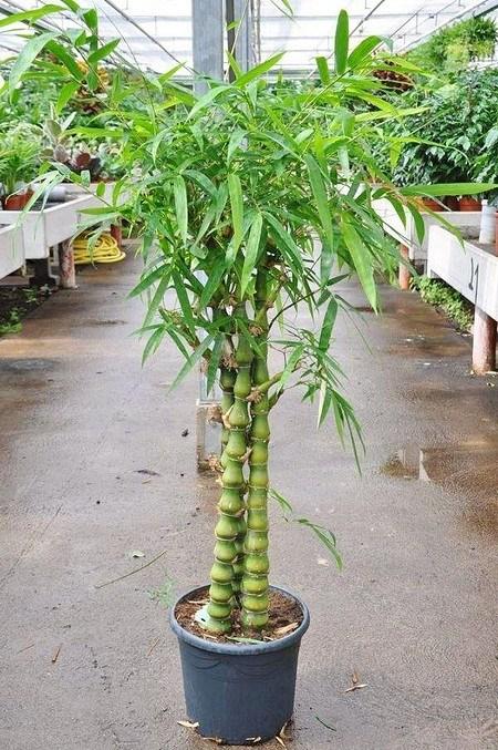 Bambus (Buddhas Bauch Bambus) - Bambusa ventricosa