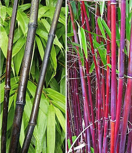 Bambus Kollektion 2 Pflanzen Gunstig Online Kaufen Mein Schoner