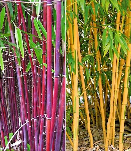 Bambus Raritäten Kollektion,2 Pflanzen