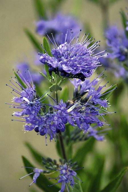 Bartblume Kew Blue, dunkelblau