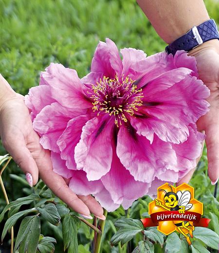 """Baum-Päonie """"Pink"""",1 Knolle"""