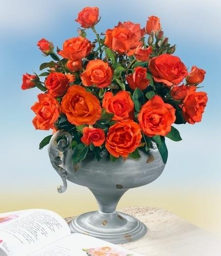 """Beet-Rose """"Satellite®"""",1 Pflanze"""