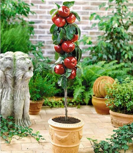 """Befruchtersorte Apfel """"Gala"""",1 Pflanze"""