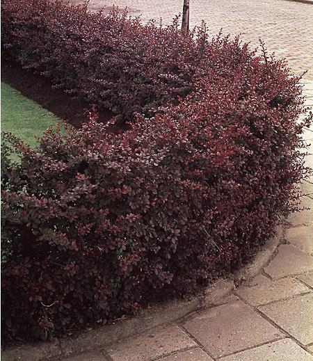 Berberitzenhecke,5 Pflanzen
