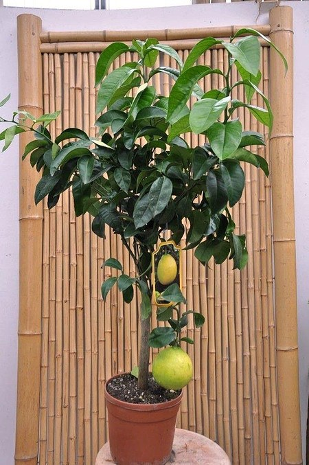Bergamotte (Pomeranze) - Citrus bergamia