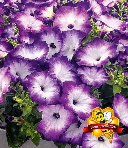 """Bienen-Petunie """"Purple Storm"""",3 Pflanzen"""