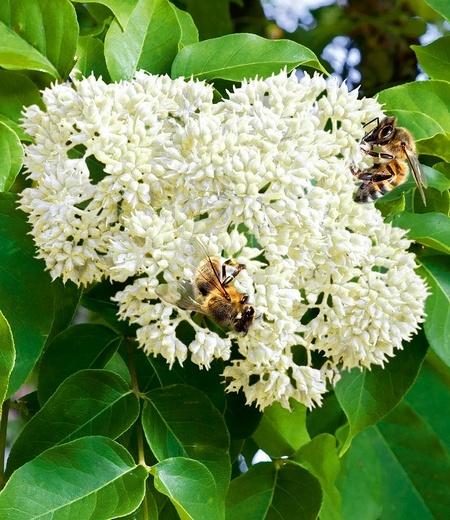 Bienenbaum - Tausendblütenstrauch,1 Pflanze