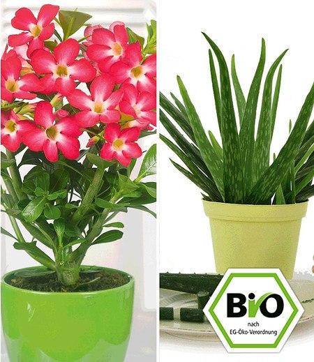 BIO-Aloe vera & Wüstenrose rot zum Vorteilspreis,2 Pflanzen