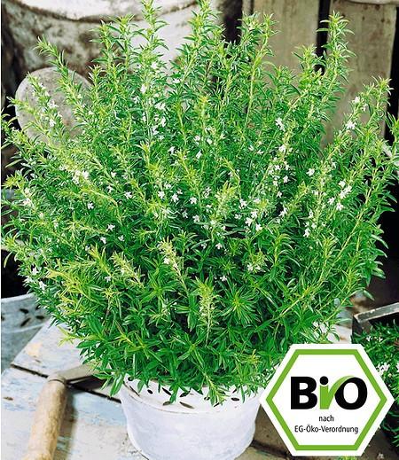 BIO-Berg-Bohnenkraut,1 PflanzeSatureja montana