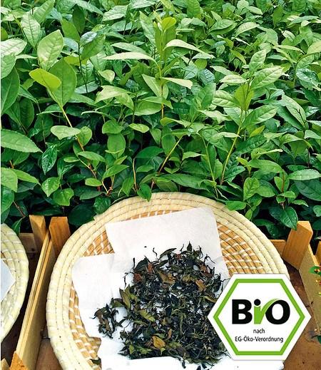 BIO-Echter Tee,1 Pflanze