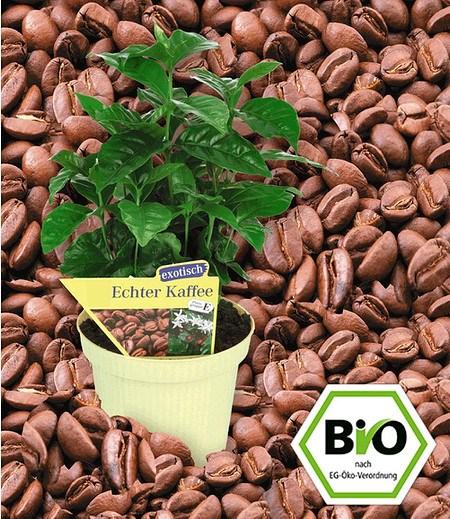 BIO-Kaffeepflanze,1 Pflanze