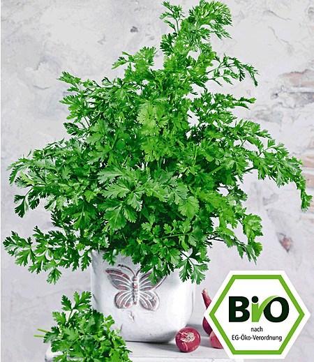 BIO-Koriander,1 Pflanze Coriandrum sativum