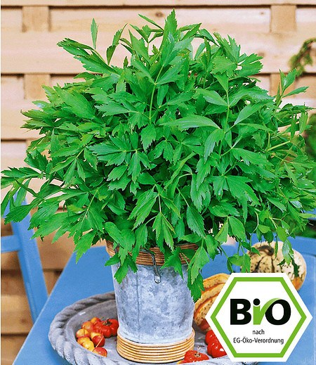 BIO-Liebstöckel,1 Pflanze Levisticum officinale