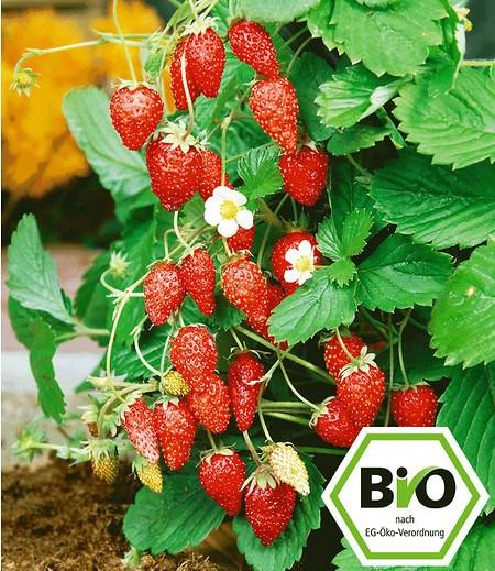 BIO-Monatserdbeere,1 Pflanze Fragaria vesca