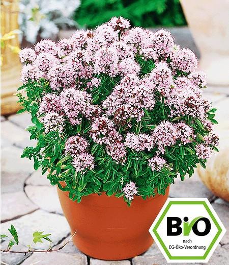 BIO-Oregano,1 Pflanze Origanumvulgare