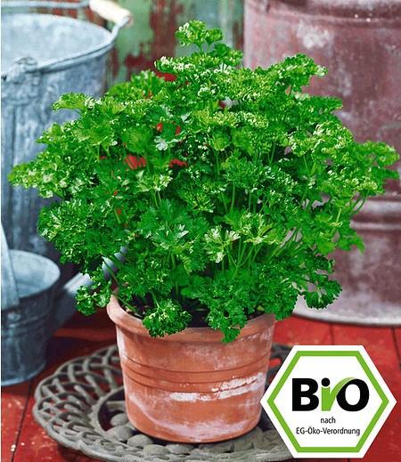 BIO-Petersilie, kraus,1 Pflanze Petroselinum crispum