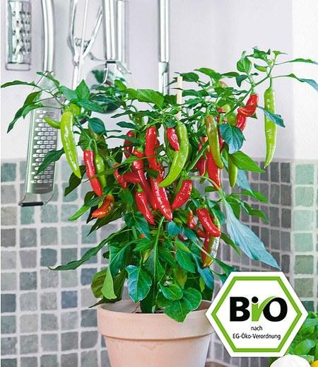 BIO Roter Zwerg-Chili 1 Pflanze Capsicum