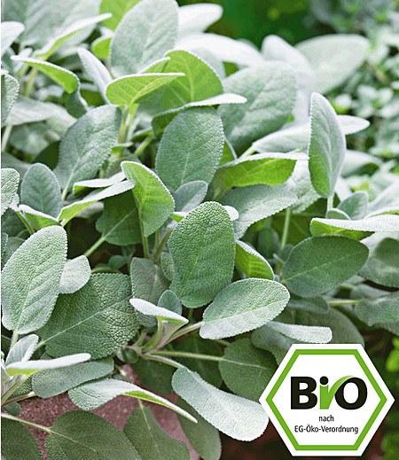 BIO-Salbei, großblättrig,1 Pflanze Salvia officinalis
