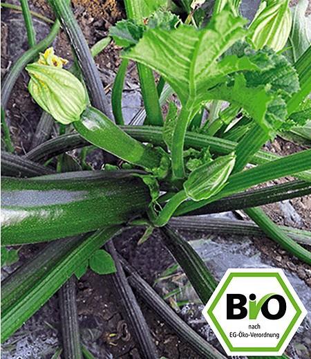 BIO-Zucchini 'Kimber' F1,2 Pflanzen BIO Zucchinipflanze