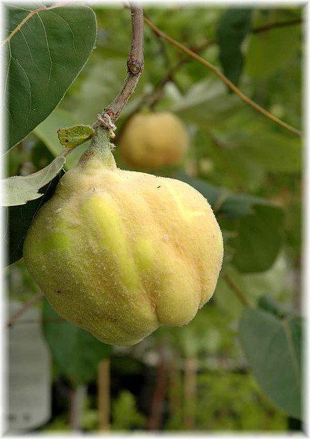 Birnenquitte Cydonia oblonga