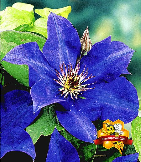 "Blaue Clematis ""The President"",1 Pflanze"