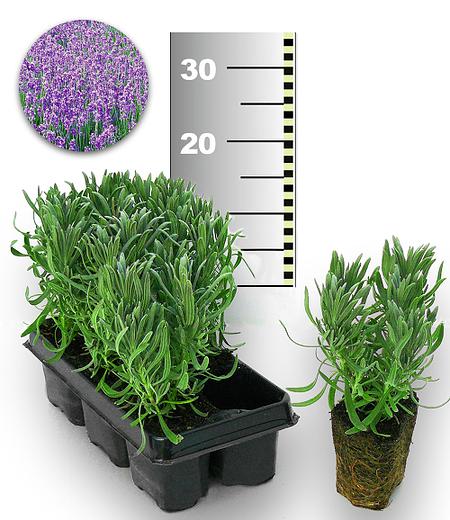 Blauer Duft-Lavendel 50 Stk.,50 Pflanzen