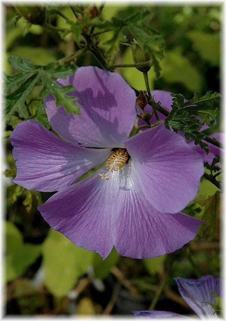 Blauer Hibiscus Alyogyne huegelii