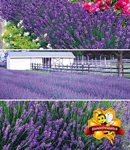 Blauer Lavendel-Mix,9 Pflanzen